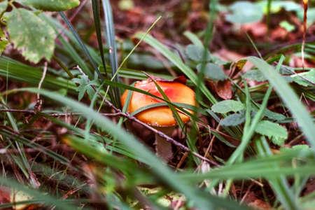 Mushroom in grass of dark secret autumn forest