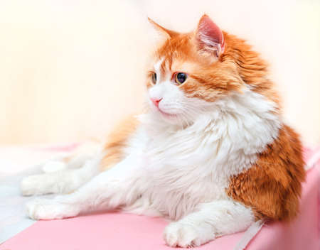 Concentrated great adult red cat on light background