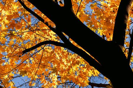 Beauty yellow maple tree in sunny autumn weather