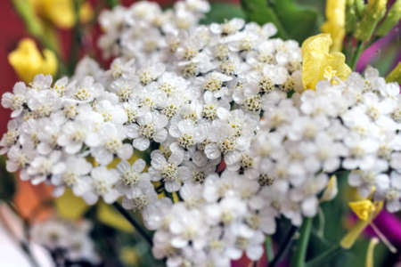 Tender beauty white flower yarrow large close up