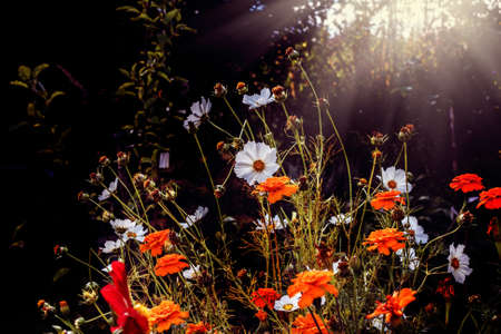 Beauty white and orange flowers in sunny autumn garden Stock Photo - 114741917