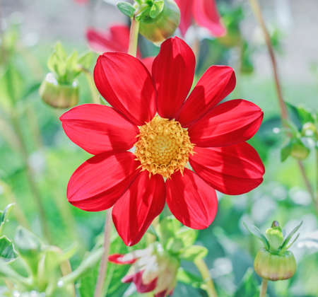 Beauty opened red dahlia on sunny happy day