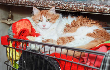 Pretty adult red white cat in supermarket cart at home Stock Photo - 114741931