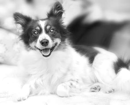 Black and white doggy eyes happily looks at home Stock Photo