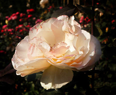 Pretty big pink lush withering rose at sunny fall garden
