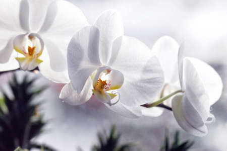 Beauty white Orchid flowers for romantic tender mood
