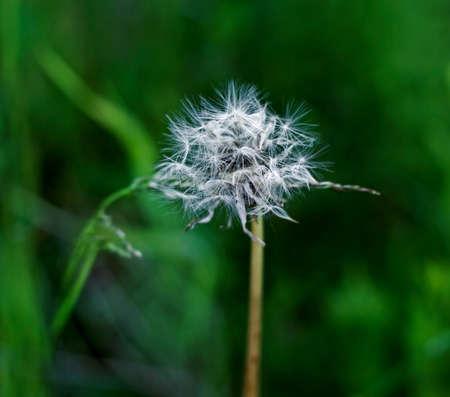 Charming white brooding original dandelion at dark green background Stock Photo