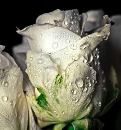 Pretty fresh white rose in water drops on dark background Stock Photo