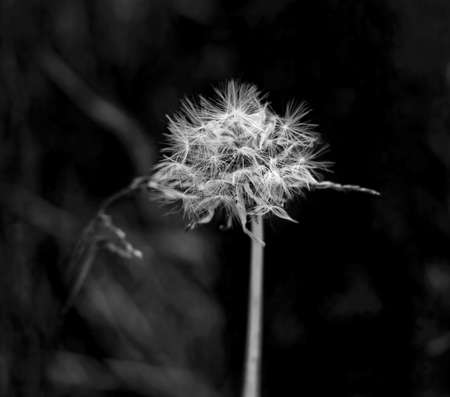 Charming white brooding original dandelion at dark background in black and white Stock Photo - 114741995