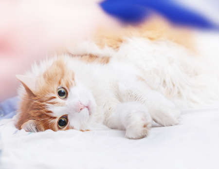 Pretty adult red cat is lying looking at camera Stock Photo - 114741998
