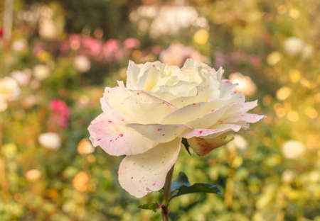 Pretty white rose with pink spots at golden fall garden