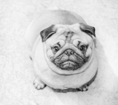 Pretty doggy pug looking at camera at room home ib black and white Stock Photo - 114742013