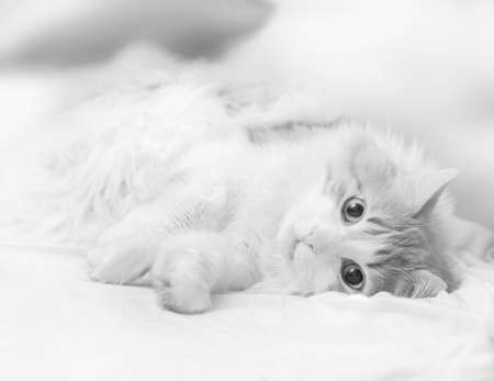 Pretty adult cat is lying looking at camera in black and white