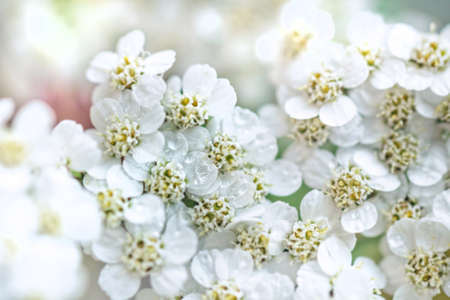 Pretty fresh white yarrow large for health and good mood Stock Photo