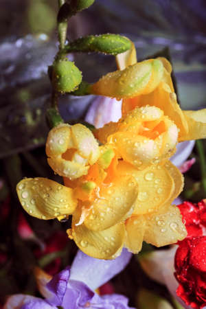 Pretty fresh soft flowers of yellow freesia in water drops Stock Photo