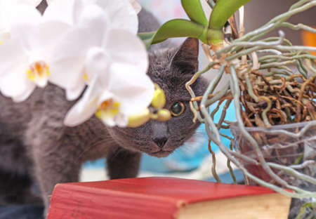 Greay adult cat was hiding behind white home orchid Stock Photo - 114742292
