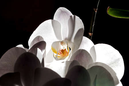 Pretty open white orchid on black background with light