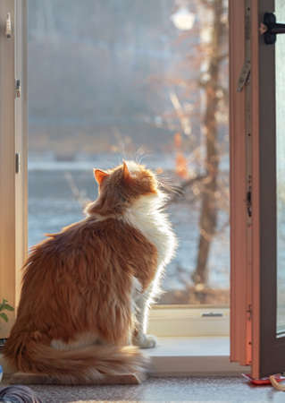 Pretty adult red cat on window on sunny day Stock Photo - 114742296