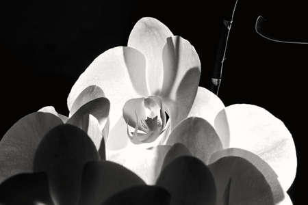 Open orchid for beauty moments in white and black Stock Photo - 114742306