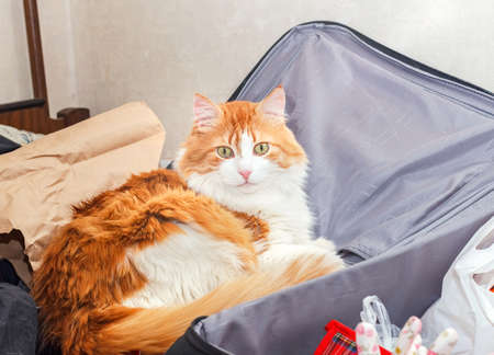 Beauty adult red cat in black grey suitcase 写真素材