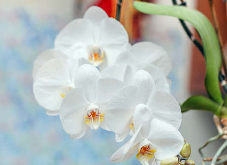 Beauty lush inflorescence of white fresh orchids flowers
