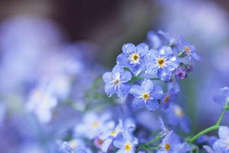 Gentle fresh tender forget-me-nots in delicate raindrops 写真素材