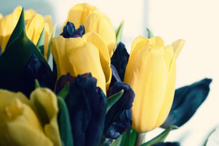 Yellow fresh spring tulips for present and good mood