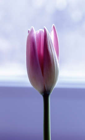 Fresh opened delicate rosebud tulip for romantic mood Banque d'images