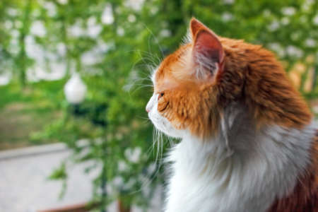Adult red cat in profile on green background at summer day