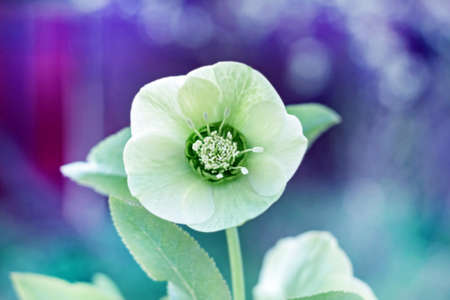 Fresh tender flower of hellebore caucasian at spring cloudy day