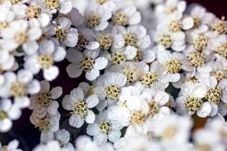 Pretty beauty white flower yarrow large close up