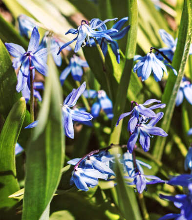 Scilla blue beauty flowers at spring sunny weather Stock Photo