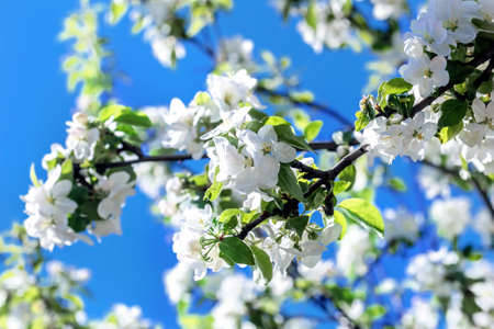 Bright flowering branches of apple at sunny spring day