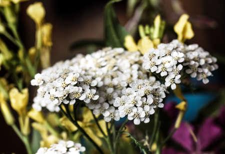 Pretty white large flower of fresh yarrow