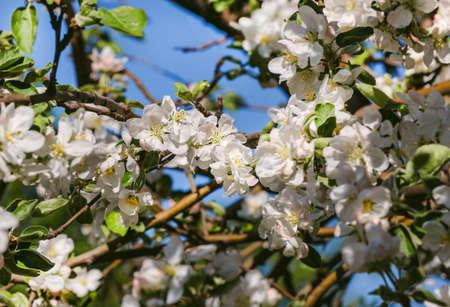 Pretty spring fresh white apple blossom flowers