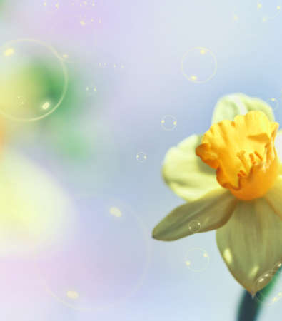 Yellow narcissus on gentle background with bubblles