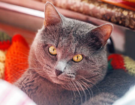 Portrait of pretty ault grey cat with yellow eyes