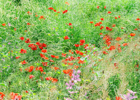 Pretty poppies in green grass on a sunny day Stock Photo