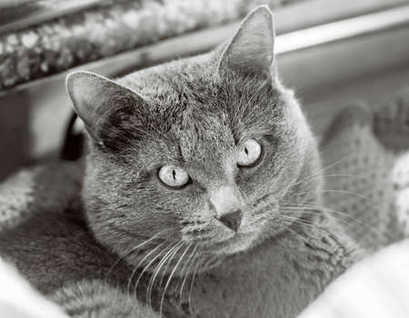 Portrait of pretty adult grey cat in black and white