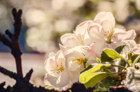 Apple pretty fresh spring blossoms at sunny happy day Stock Photo