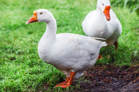 White pretty geese on green grass at day