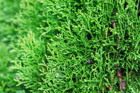 Green of thuja tree at day weather Stock Photo
