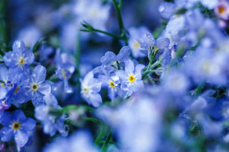 Gentle blue flowers forget-me-nots for heart present