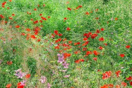 Beauty scarlet poppies in green field grass