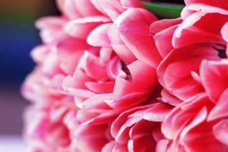 Tulip pink flower fresh pretty petals for pleasure