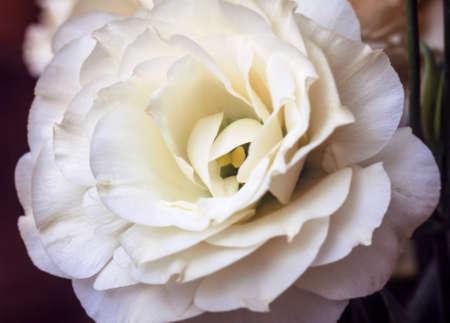 Tender fresh white eustoma flower large for present ans good mood Stock Photo