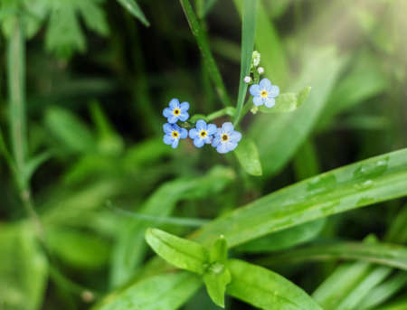Pretty flowers blue forget-me-nots in green grass at summer day Stock Photo