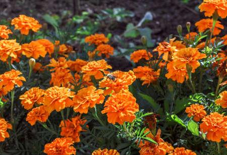 Nice fresh orange blooming marigolds at summer day