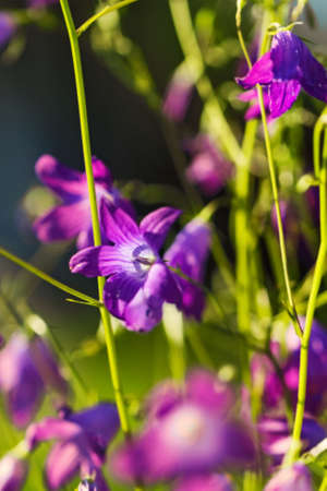 Pretty charming field flower bell large at sunny summer weather