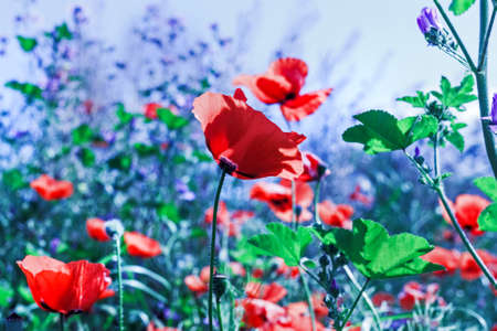 Pretty scarlet poppies in field with bluish light Stock Photo